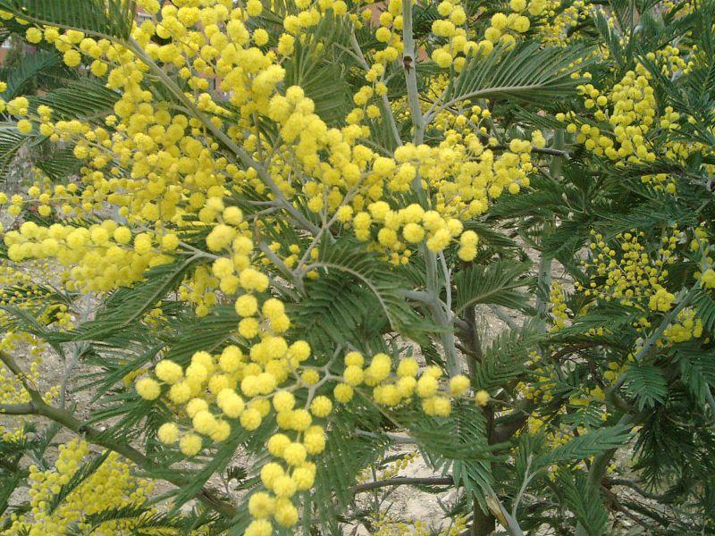 px Acacia dealbata