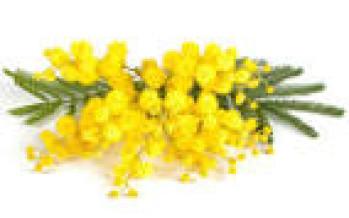 8 Marzo, festa della donna: ecco perché si regala la mimosa