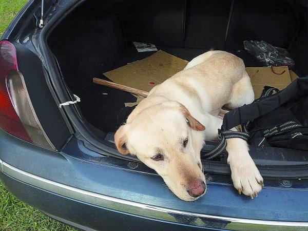 Photo of Ritrovato uno dei sei cani spariti a Venafro: forse era stato rubato | PrimoPiano Molise
